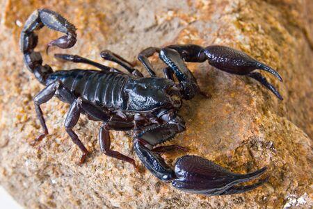 Scorpion on the rock photo