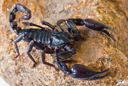 Scorpion on the rock Stock Photo