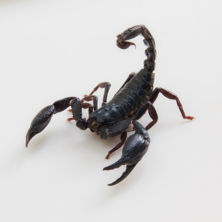 nippers: Black Scorpion