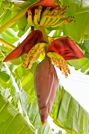 banana blossom and bunch
