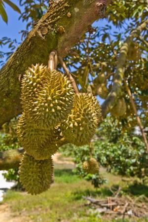 Durian fruit photo