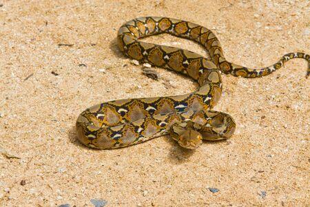 Boa Snake Stock Photo - 11593103