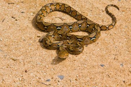 Boa Snake Stock Photo - 11593104