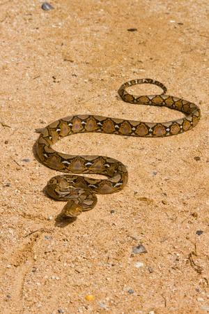 Boa Snake Stock Photo - 11593108