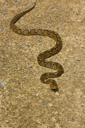 Boa Snake Stock Photo - 11593107