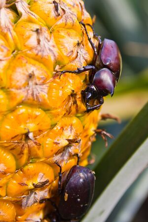 Beetle on pineapple photo