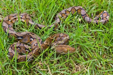 Boa Snake Stock Photo - 11806954