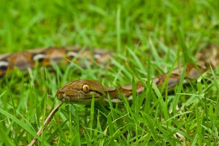 Boa Snake Stock Photo - 11806938