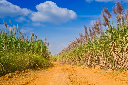 The road to corn filed