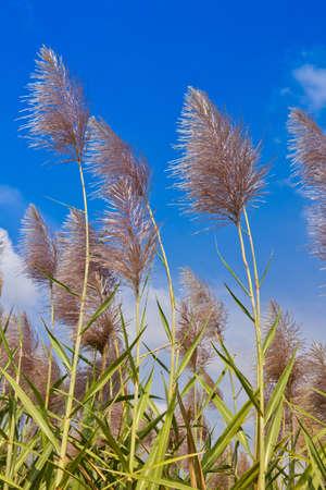 flower of corns photo