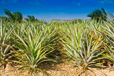 pineapple field photo