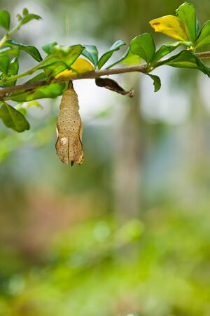 butterfly chrysalis is hanging on branch Stock Photo - 13272594