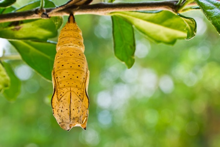 butterfly chrysalis is hanging on branch photo
