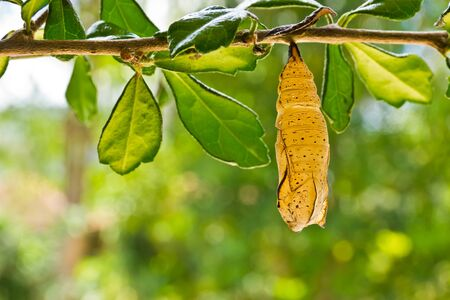 butterfly chrysalis is hanging on branch