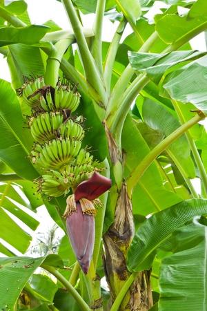 comiendo platano: �rbol de pl�tano con una flor