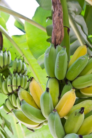 eating banana: Banana tree with a bunch of bananas
