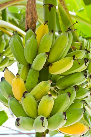 Banana tree with a bunch of bananas photo