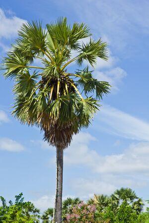 Sugar palm tree on blue sky photo