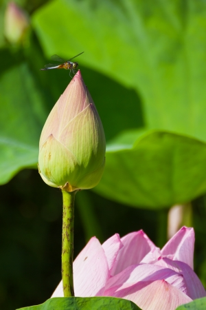Dragonfly on blooming Lotus Flower photo