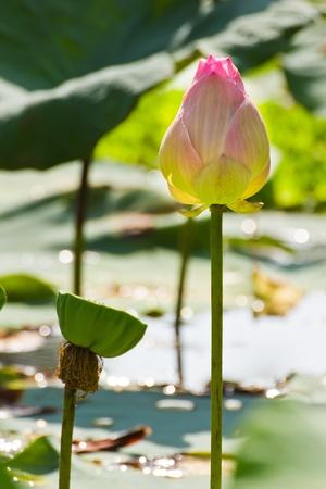 seedpod: Blooming Lotus Flower and seedpod Stock Photo