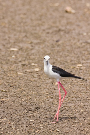 Black winged Stilt is bird in a sea coast Stock Photo - 14251952