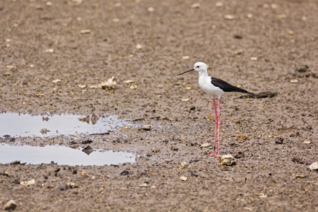 Black winged Stilt is bird in a sea coast photo