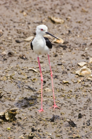 Black winged Stilt is bird in a sea coast Stock Photo - 14251948