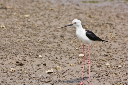 Black winged Stilt is bird in a sea coast Stock Photo - 14251954