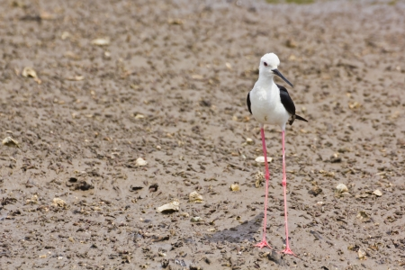 Black winged Stilt is bird in a sea coast Stock Photo - 14251959