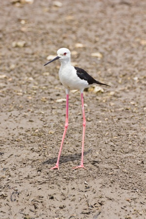 Black winged Stilt is bird in a sea coast Stock Photo - 14251953