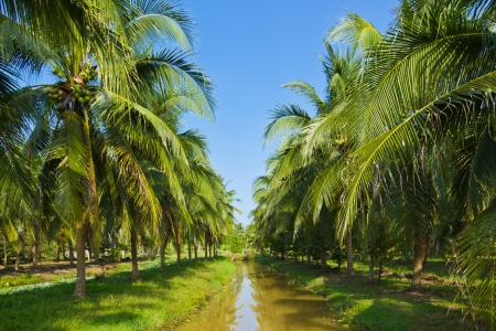 Field of coconut trees in thailand Stock Photo