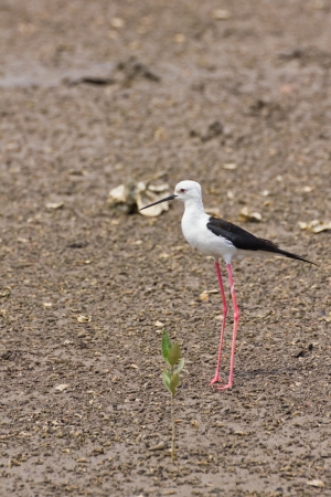 Black winged Stilt is bird in a sea coast Stock Photo - 14251956