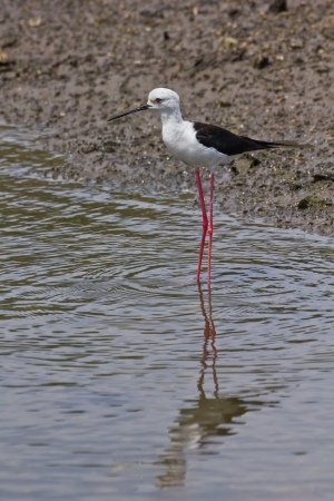 Black winged Stilt is bird in a sea coast Stock Photo - 14251960