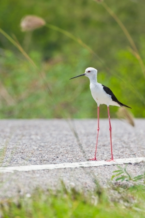 black winged stilt: Black winged Stilt is bird in a sea coast Stock Photo