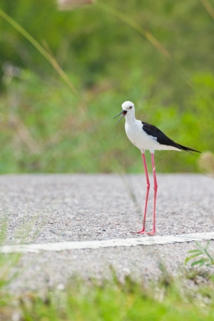 Black winged Stilt is bird in a sea coast Stock Photo - 14251940