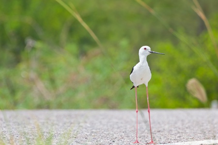 Black winged Stilt is bird in a sea coast Stock Photo - 14251939