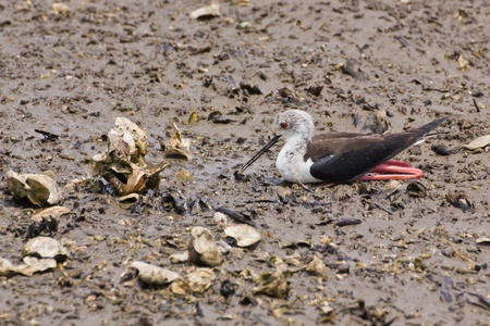 Black winged Stilt is bird in a sea coast Stock Photo - 14251955