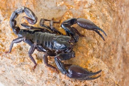 Black scorpion on the rock Stock Photo - 14251941