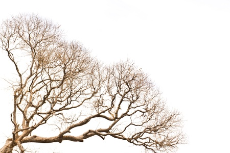 Branch of dead tree on white background