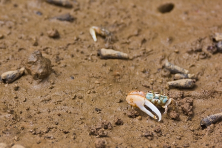 fiddler: fiddler crab have asymmetric claw Stock Photo