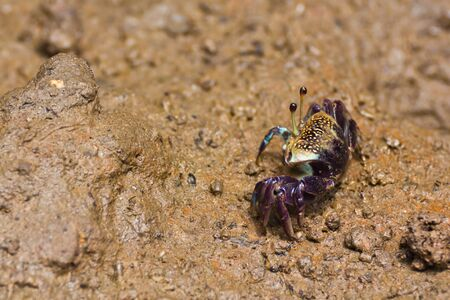 fiddler crab have asymmetric claw photo