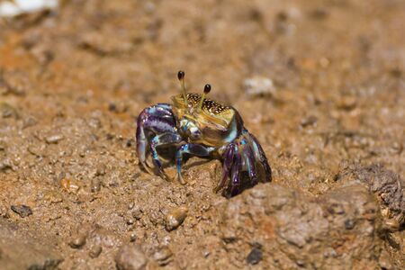 female fiddler crab at hole photo