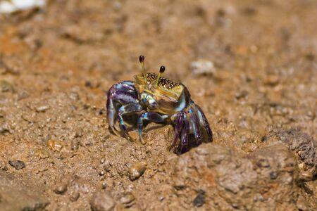 fiddler: female fiddler crab at hole