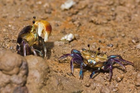 fiddler: male and female fiddler crab Stock Photo