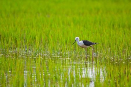 Black winged Stilt bird in paddy field Stock Photo - 14401285