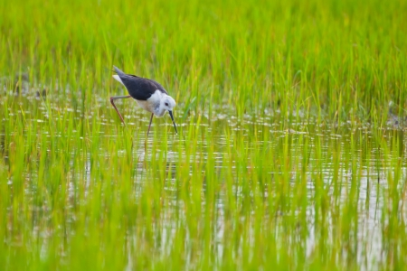 Black winged Stilt bird in paddy field Stock Photo - 14401273