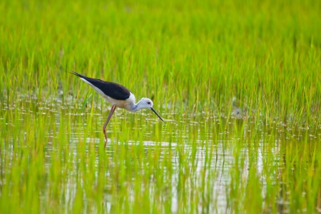 Black winged Stilt bird in paddy field Stock Photo - 14401275