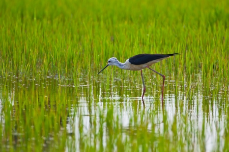 Black winged Stilt bird in paddy field photo