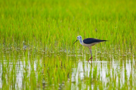 Black winged Stilt bird in paddy field Stock Photo - 14401286
