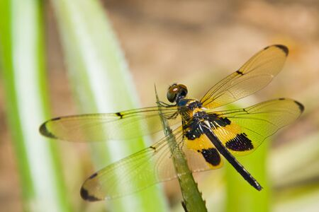 Close up of dragonfly on a leaf photo